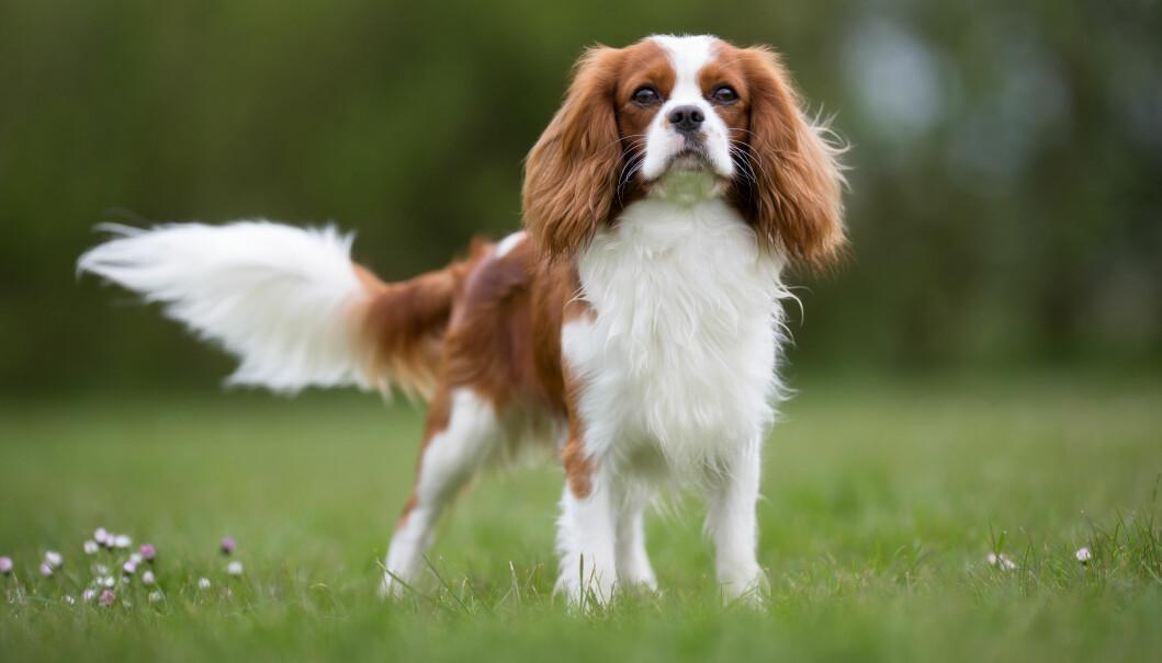 Cavalieren lå i fjor på 11.plass på Norsk Kennel Klubs oversikt over Norges mest populære hunderaser.