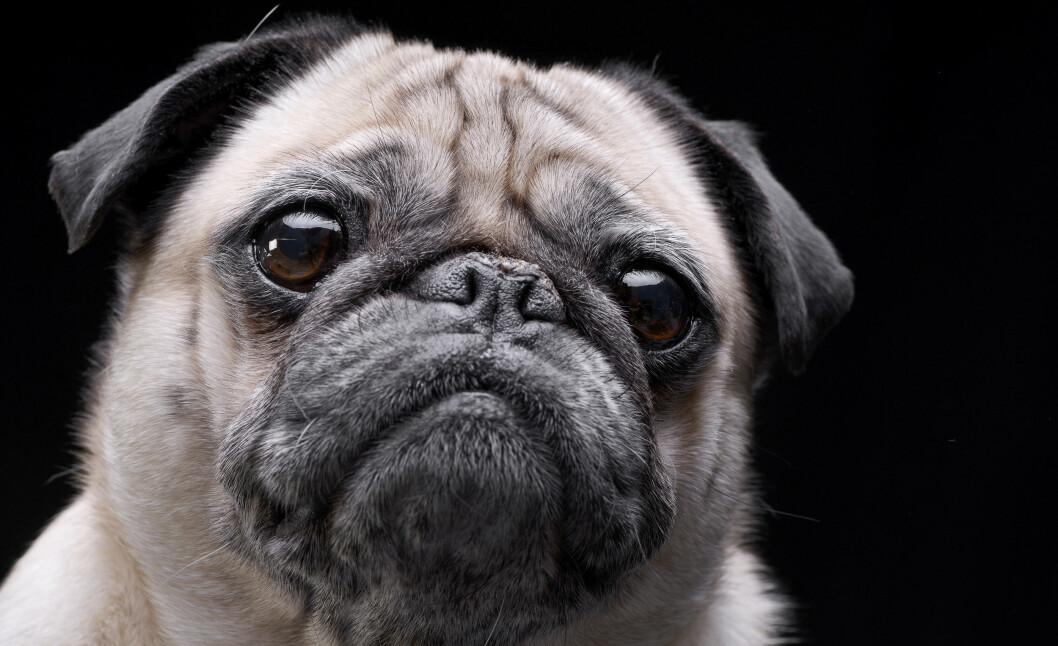Mange hunder av rasen mops har store pusteproblemer. Enkelte individer har også for tette nesebor, samt løs hud i svelget som kan dekke luftrøret.