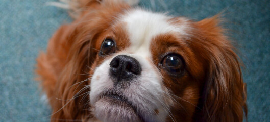 Oslo tingrett skal avgjøre om avl av bulldog og cavalier king charles spaniel skal forbys