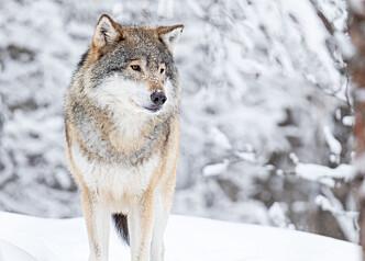 Høyesterett: Felling av 27 ulver truet ikke bestanden