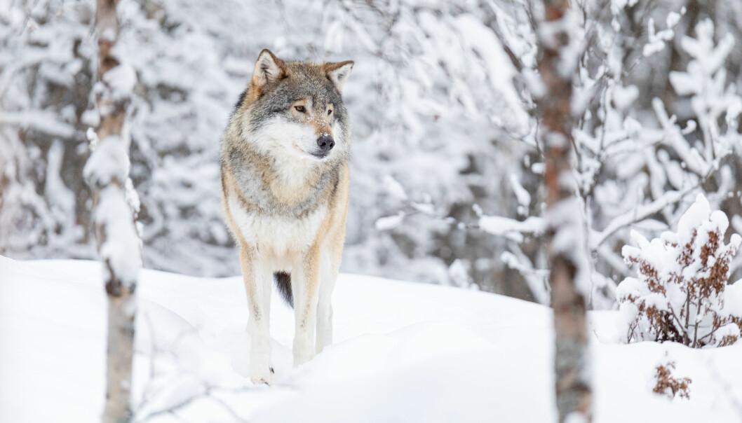 Høyesterett har behandlet såkalt lisensfelling av totalt 31 ulver.