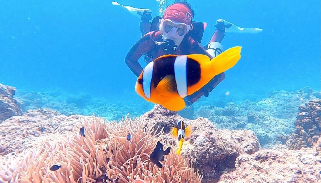 Klovnefiskene er på favorittlisten til alle dykkere.